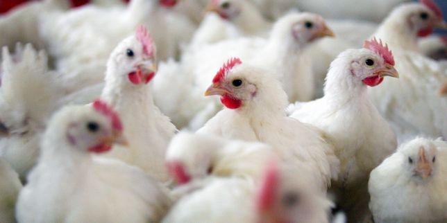 Grippe aviaire : lancement d'une campagne de désinfection