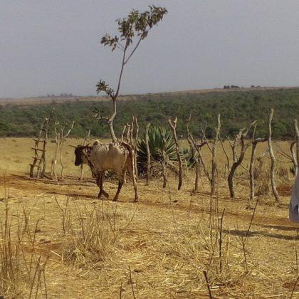 Violente rixe entre éleveurs et agriculteurs au Tchad