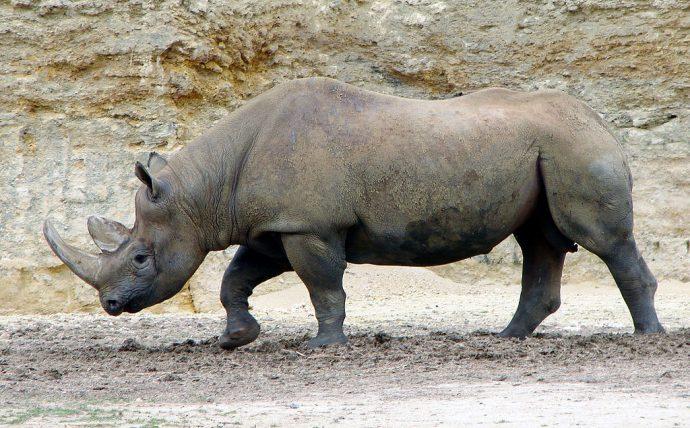 Les rhinocéros de retour au Tchad