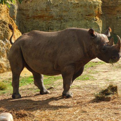 Deux rhinocéros retrouvés morts au Tchad