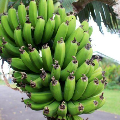 L'Angola fait le pari économique de la banane