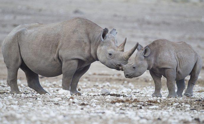 Deux nouveaux rhinocéros noirs retrouvés morts