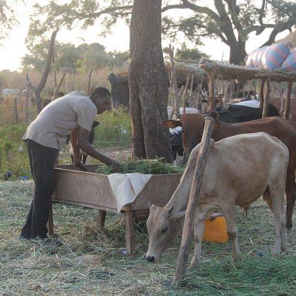 La sécheresse asphyxie les éleveurs angolais