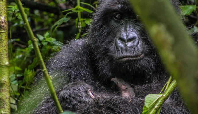 Un gorille ougandais de 25 ans tué dans un parc de l'UNESCO