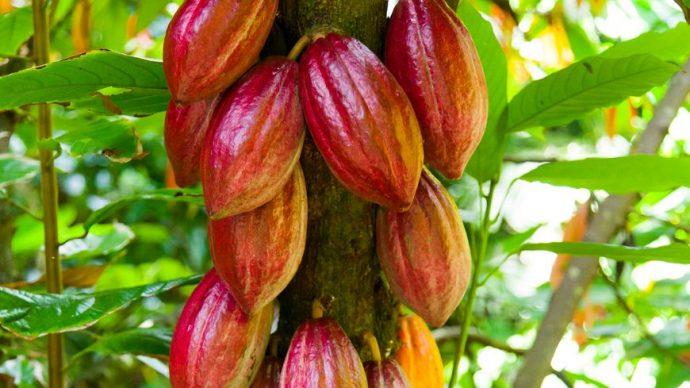 Les producteurs de cacao de Côte d'Ivoire attendent la pluie pour stimuler la récolte