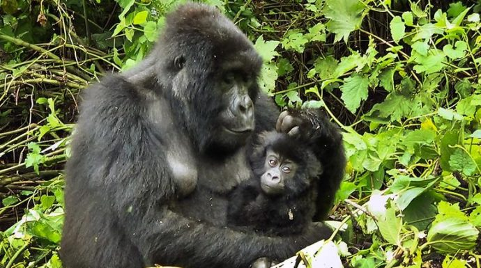 Le coronavirus provoque un pic de braconnage dans le parc des Virunga en RDC