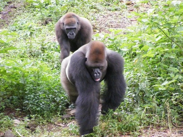 Le Cameroun annule un plan d'exploitation forestière qui menaçait la vie des singes rares