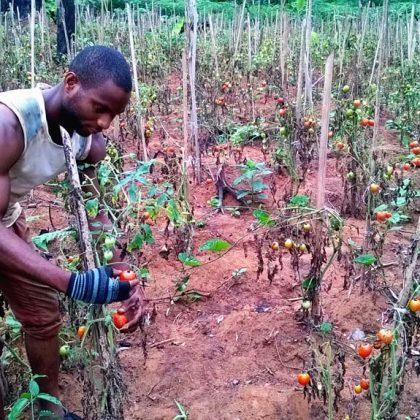 Au Cameroun, les producteurs de tomates camerounais comptent leurs pertes