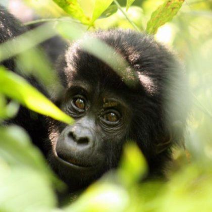 L'Ouganda annonce un rare « baby-boom » de gorilles dans un parc du sud-ouest du pays