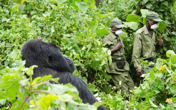 Six rangers chargés de la surveillance des gorilles tués dans une embuscade dans le parc national des Virunga en RD Congo