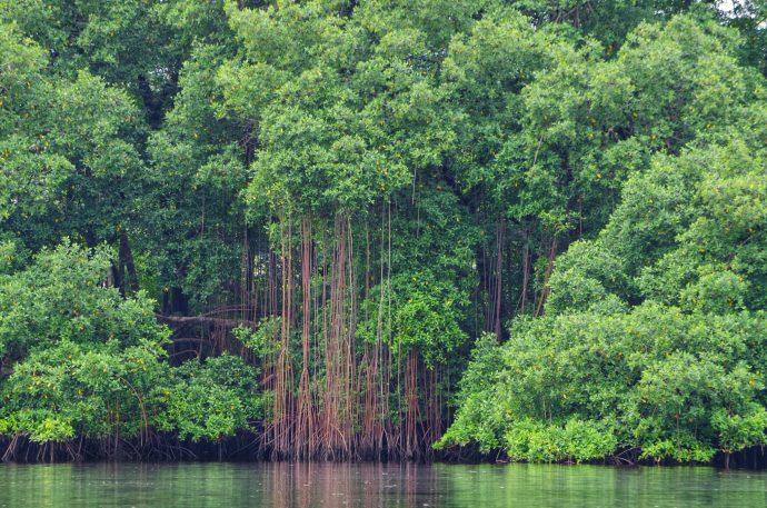 Les mangroves du Gabon comptent parmi les plus hautes du monde mais sont menacées