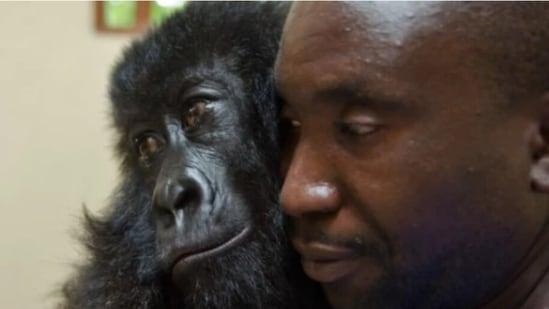 La célèbre gorille de montagne orpheline de RDC est décédée à l'âge de 14 ans