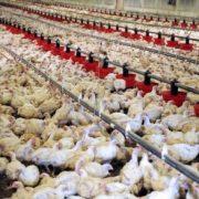 L'Angola veut plus de poulets