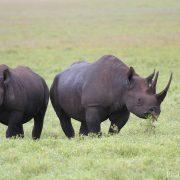 Le Rwanda réintroduit le rhinocéros