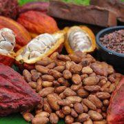 Cameroun : chute du commerce du cacao à cause de la crise en zone anglophone